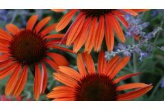 The Colors of Coneflowers