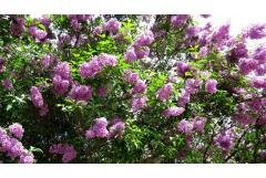 Enjoy lilacs longer with our mix-and-match matrix!