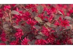Southeast: 5 Shrubs That Look Great in August (Zone: 6 - 8)