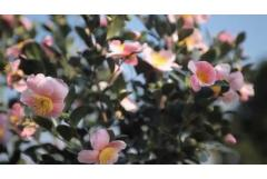 Pink-A-Boo®  Camellia