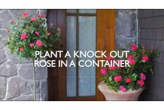 How to Plant Knock Out Roses in a Container