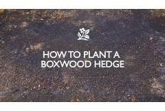 How to Plant a Boxwood Hedge