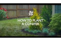 How to Plant a Conifer