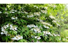 Best Shrubs to Attract Pollinators (Northeast)