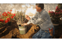 How to Plant a Pomegranate Tree