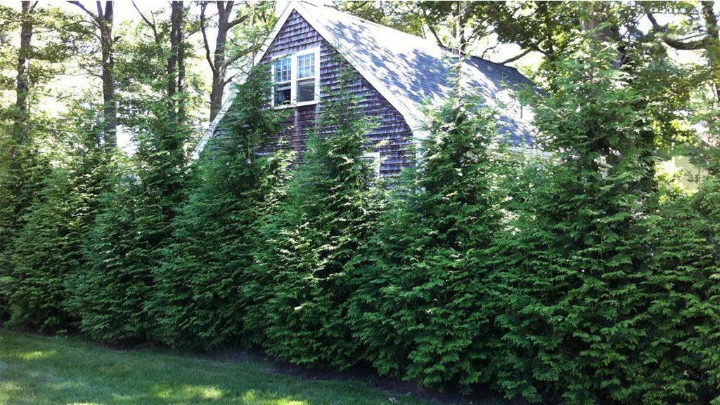 10 Evergreen Shrubs For Privacy Zone 3 7 Be Inspired