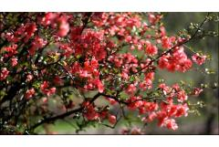 Flowering Quince for Early Spring Blooms