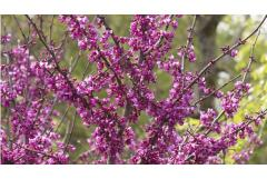 In Bloom: Easy, Elegant Redbud