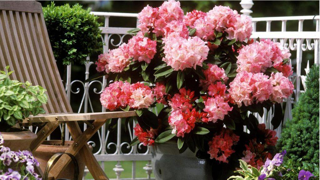 How to Grow a Rhodie in a Pot