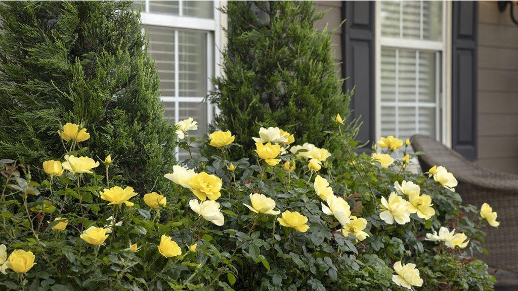 10 Shrubs That Look Great in June