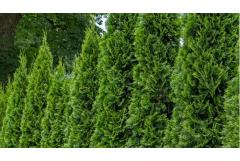 Crushing on fruity-fragrant conifers