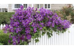 Clematis to Plant Now for Late Summer Blooms