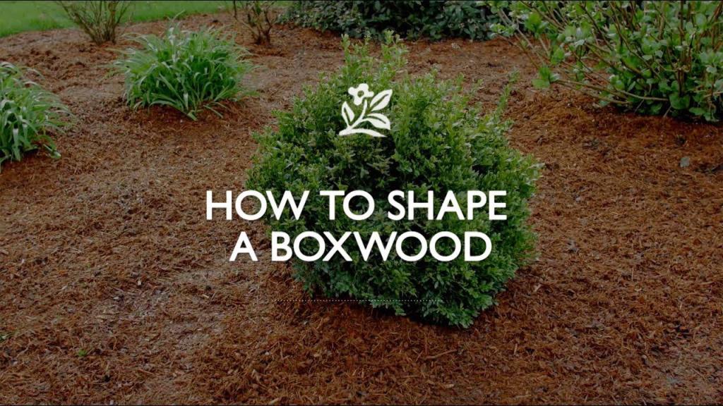 How to Shape a Boxwood