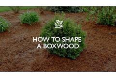How to Shape a Boxwood