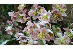 Early Spring Bloomers to Plant NOW