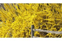 In Bloom: Fabulous Forsythia
