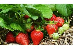 Keep Strawberries Fruiting in Late Summer