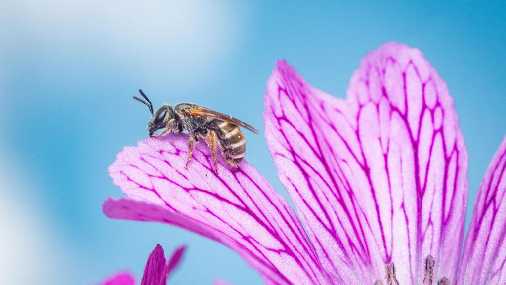 bee on edge of purple geranium flower petal