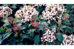 5 Perfect Early Blooming Shrubs (South)