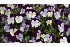 Charming and Easy to Grow: Violets