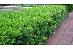 Edge Your Bed With Low-Growing Shrubs