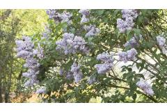 Lilacs for Mild Climates