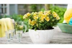 Peruvian Lily: Waterwise Surprise!