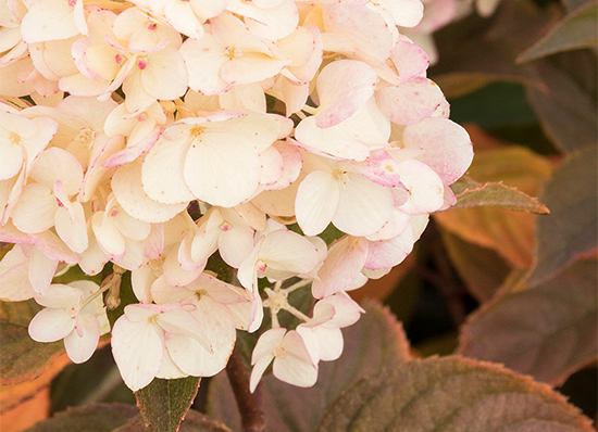 rosey white hydrangea flowers with bronze leaves in fall