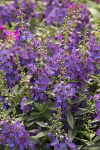 Archangel Purple :: Credit :: Doreen Wynja