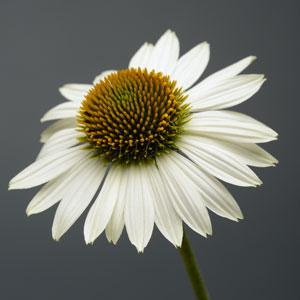 Close up :: Credit :: Ball Horticultural