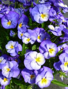 Close-up :: Credit :: Ball Horticultural