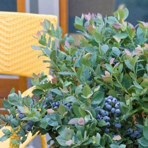 blueberrypinkicingcropped