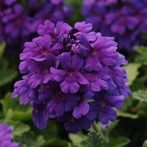 deep purple verbena flowers