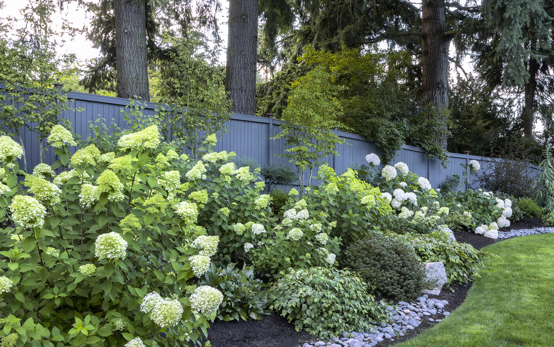 hydrangeas in shade garden
